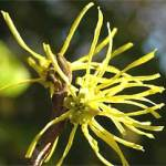 witch-hazel2